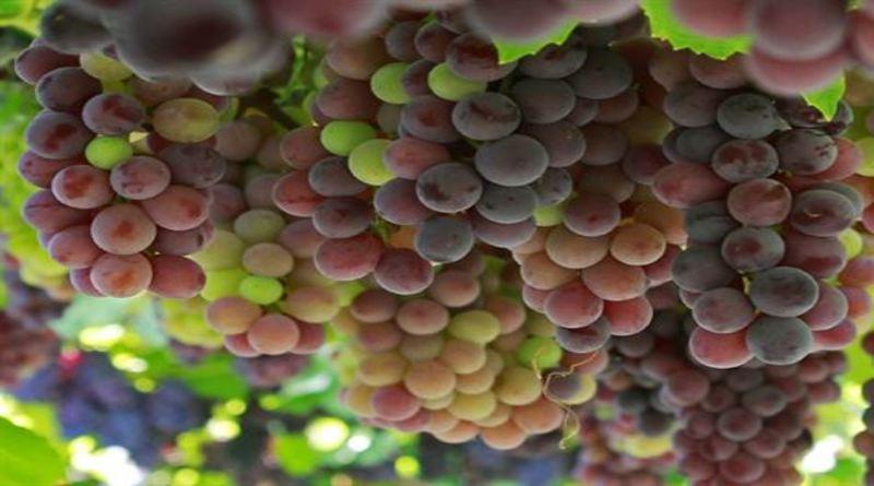 Produção de uvas do Vale de São Francisco recebe aporte de R$ 3 milhões
