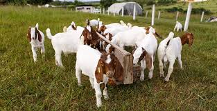 A caprinovinocultura no nordeste brasileiro