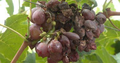 Chuva forte causa prejuízo em plantações de uva do Vale do São Francisco